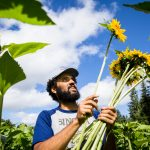 A student harvests sunflowers at Evergreen's organic farm